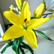黄百合の開花!・・・ 【 老前整理-その15 】