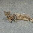 虎猫は腹まで虎? 多摩川猫シリーズ