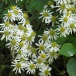 野菊:竜野菊とヨメナ菊と秋のバラ(その13)
