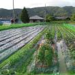 畑の農作物