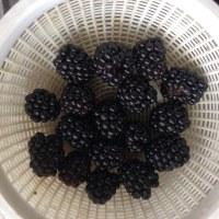 ゴーヤ20日目  と ブラックベリー初収穫 🌱