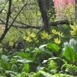 神奈川の花の風景 キバナカタクリを観に
