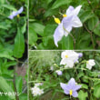 ヤマホロシの花は