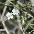 リョクガクザクラ(緑萼桜)