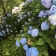 6/23(土)  紫陽花。