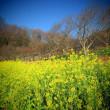 『春の便り』 菜の花