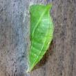 前蛹から蛹に変身! アオスジアゲハ(青条揚羽)