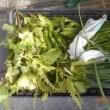 今日の収穫 オクラ ニラ トウガラシ類 ネギ 青シソ