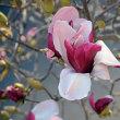 春だ~紫木蓮が咲いた