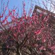 高知城の紅梅