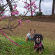 八重岳でお花見