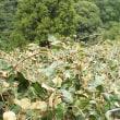 台風18号通過でキウイの葉がなくなりました。来年に影響しそうです!