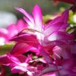 庭のお花達 シャコバサボテン他
