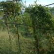 台風被害点検と収穫