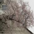 桜追加画像