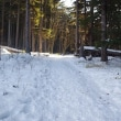 今日のアカエゾマツの森♪ Sakhalin spruce forest