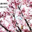 遅咲きの八重の桜も咲きにけり