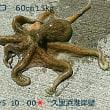 笑転爺の釣行記 6月5日☀ 久里浜・浦賀(蛸・烏賊)
