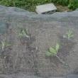 ブロッコリーを植え付けた