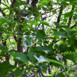 樹木ウォッチング冬から夏へ377エゴノキ2