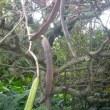 市熱帯植物園前のホウオウボク