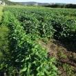 直売所の「枝豆収穫祭」は、10月14・15日です。
