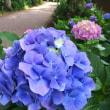 紫陽花の季節(その1)吉祥寺成蹊大学横ケヤキ並木