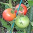 トマトが赤く熟れました