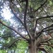 くらいつきの杉と碑の連なり