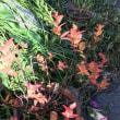 身近な植物の紅葉
