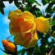 『雨上がり』 薔薇