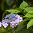 ガクアジサイがまだ咲いていた