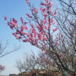 今日の富士山と梅の里(裾野市)の梅の花