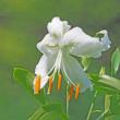白のカノコユリ咲き出す