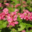 <赤花ソバ> 景観作物として人気の「高嶺ルビー」