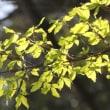 天拝山の樹木(天拝山歴史自然公園)4月 ニシキギ