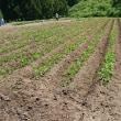 大豆土寄せ、ジャガイモ収穫
