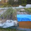 サツマイモ植え付け後の畑全景 作付けの現状