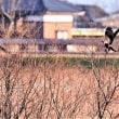 今日の野鳥  ハイイロチュウヒ ・ チュウヒ