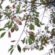 「病葉秋景」 いわき 三島八幡参道にて撮影! ウコン桜の紅葉
