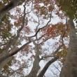 千葉公園のシマサルスベリ