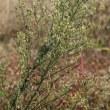 ヒメムカシヨモギ(キク科・イズハハコ属)越年草