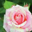 バラのネーミング 横浜イングリッシュガーデン