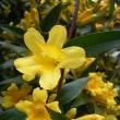 季節の花「カロライナジャスミン」