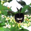ナガサキアゲハ ♀