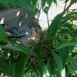 鳩さん巣籠