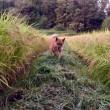 稲刈り間近。