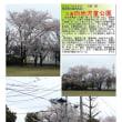 花巡り 「桜-その484」 久喜向地児童公園