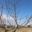 やっと畑の梅が咲きました