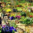 自宅の庭、シュンラン、ヒメツルニチニチソウ、ヒマラヤユキノシタ、他